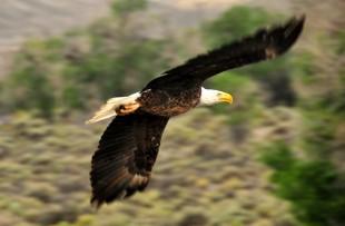 Bald eagle - pixabay