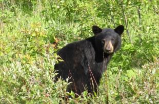 Black bear 2 (ontario) - pixabay