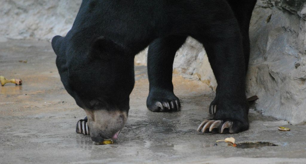 Black bear foraging - Pixabay