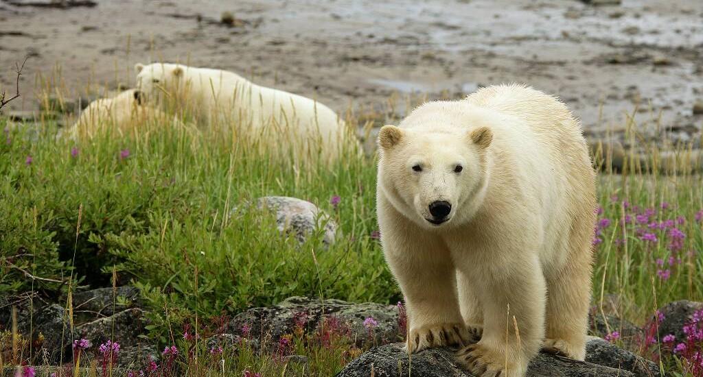Lazy bear lodge polar bear summer 2 - JV