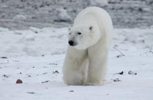 Polar bear 2 - pixabay